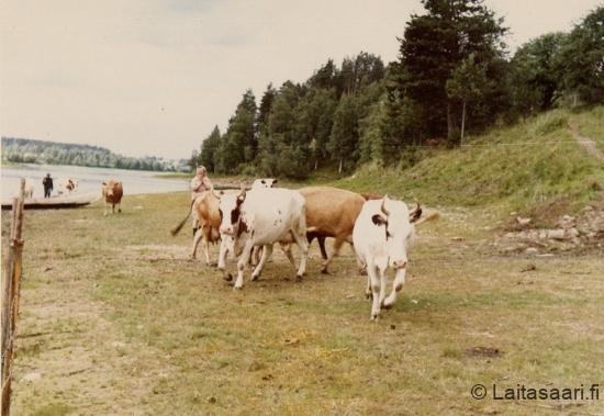 Rintamäen lehmät rannalla